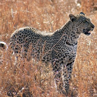 Leopard on the Serengeti