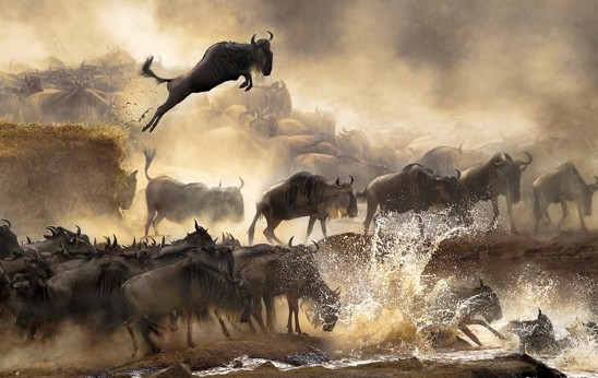 Wildebeest jumps into river